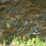 Thanks to Marshall (last year), we saw salmon heading upstream.