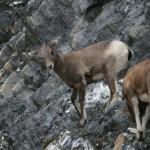 Mountian Sheep
