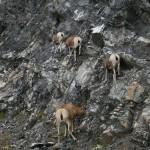 Mountian Sheep Rock Climbing
