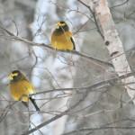 Evening Grosbeaks - Torch Valley Cabin