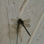 Kara put her photo-skills to work on this Dragonfly